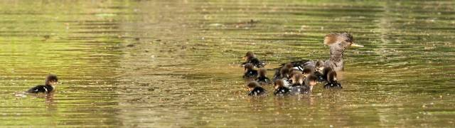 16-Hooded-Merganser-Ducklings