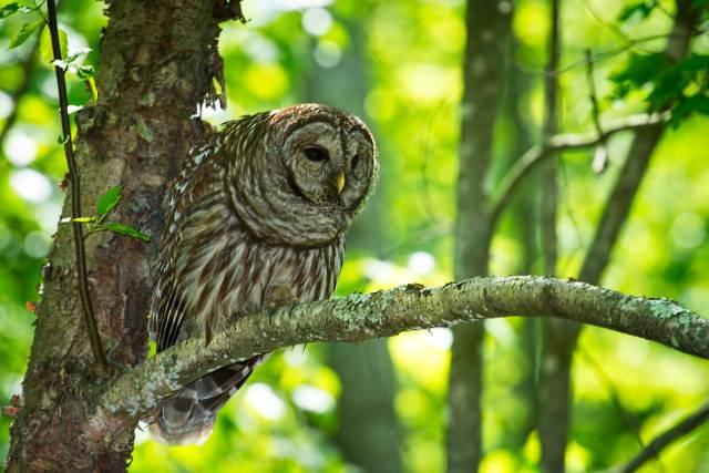Barred-Owl-21