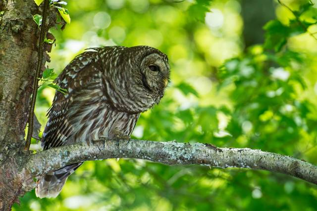 Barred-Owl-23