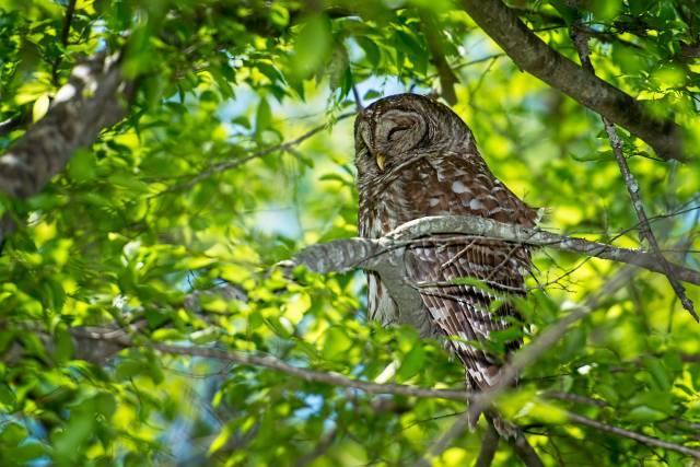 Barred-Owl-24
