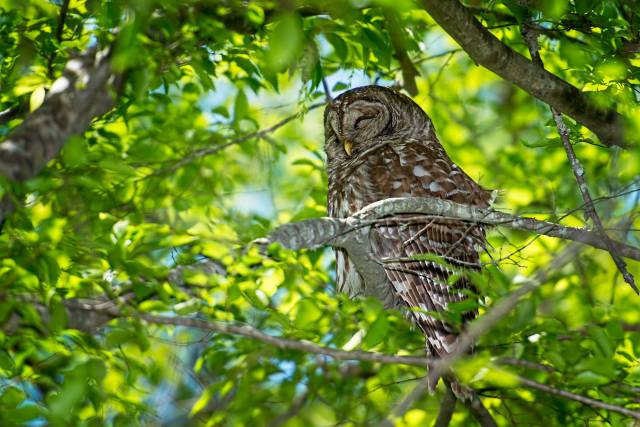 Barred-Owl-24