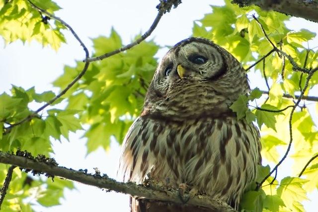 Barred-Owl-4