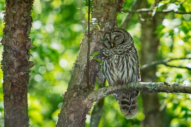 Barred Owl Sleeping Against a Tree