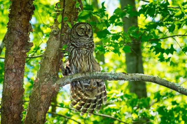 Barred-Owl-Stretchng-Leg-and-Wing