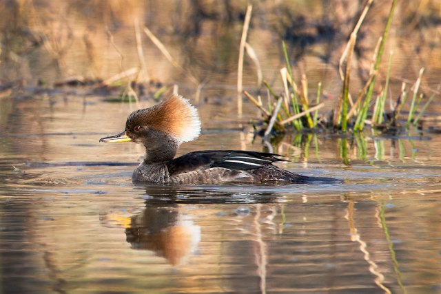 Female-Hooded-Merganser