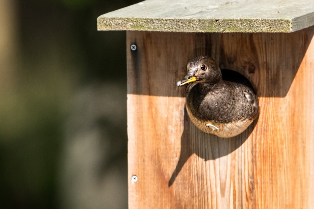 Hen-Hooded-Merganser-in-Nesting-Box-with-Egg-Shell-on-Her-Chest
