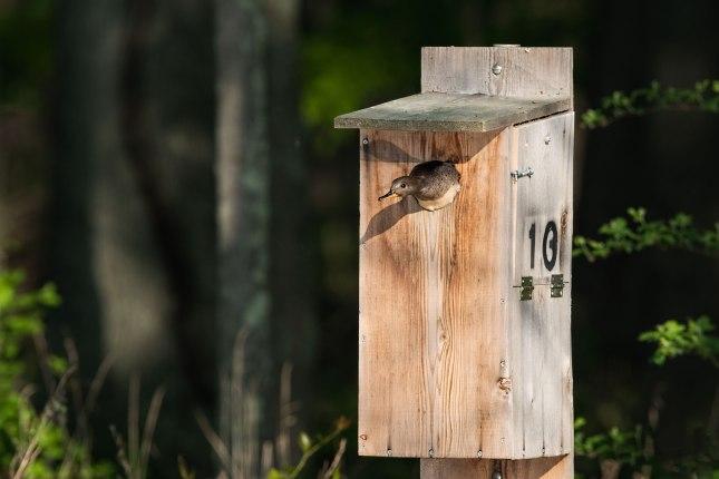 wood duck nesting box plan