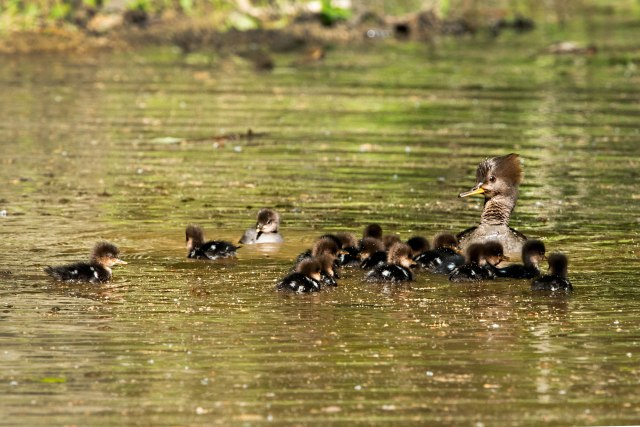 Hooded-Merganser-and-Her-Brood-Final-Count