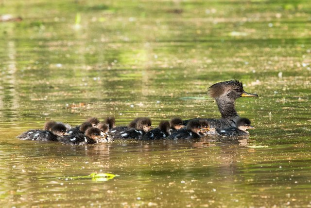 Hooded-Merganser-and-Her-Brood