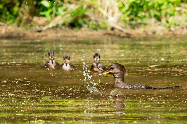 Hooded-Merganser-and-Three-Ducklings-2
