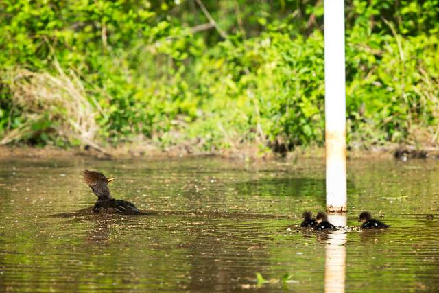 Hooded-Merganser-and-Three-Ducklings