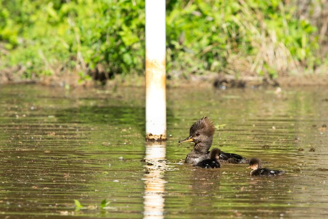 Hooded-Merganser-and-Two-Ducklings