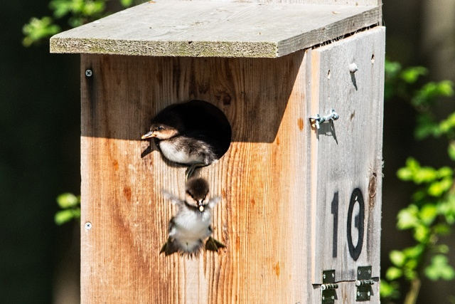 Hooded-Merganser-Ducklings-Jumping-from-Nest