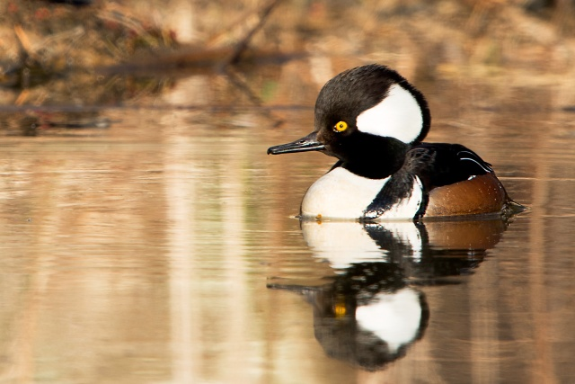 Male-Hooded-Merganser