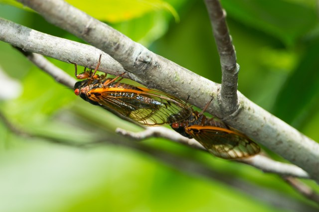 Cicada-4