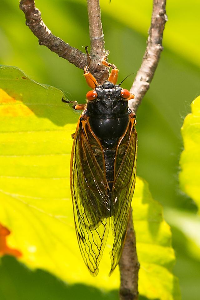 Cicada-5