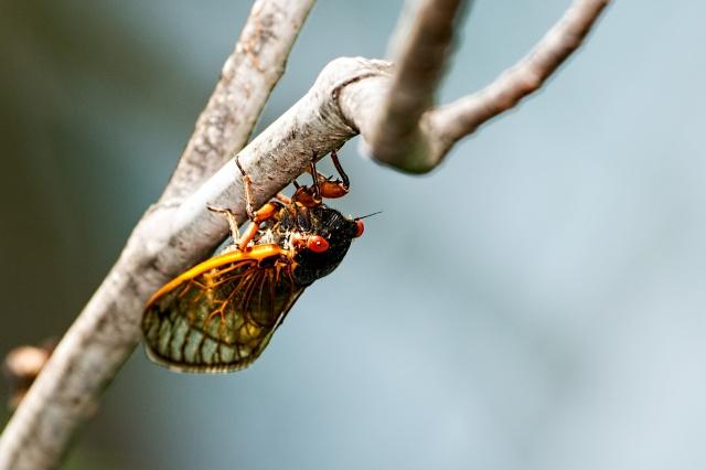 Cicada-6