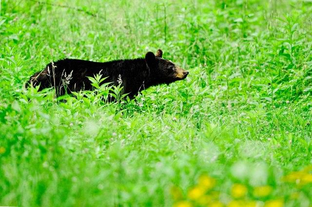 Female-Black-Bear