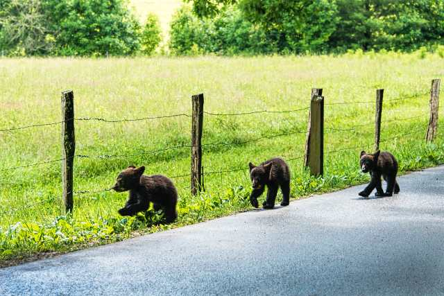 Three-Black-Bear-Cubs