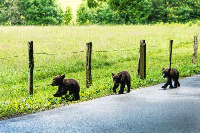 Three-Black-Bear-Cubs