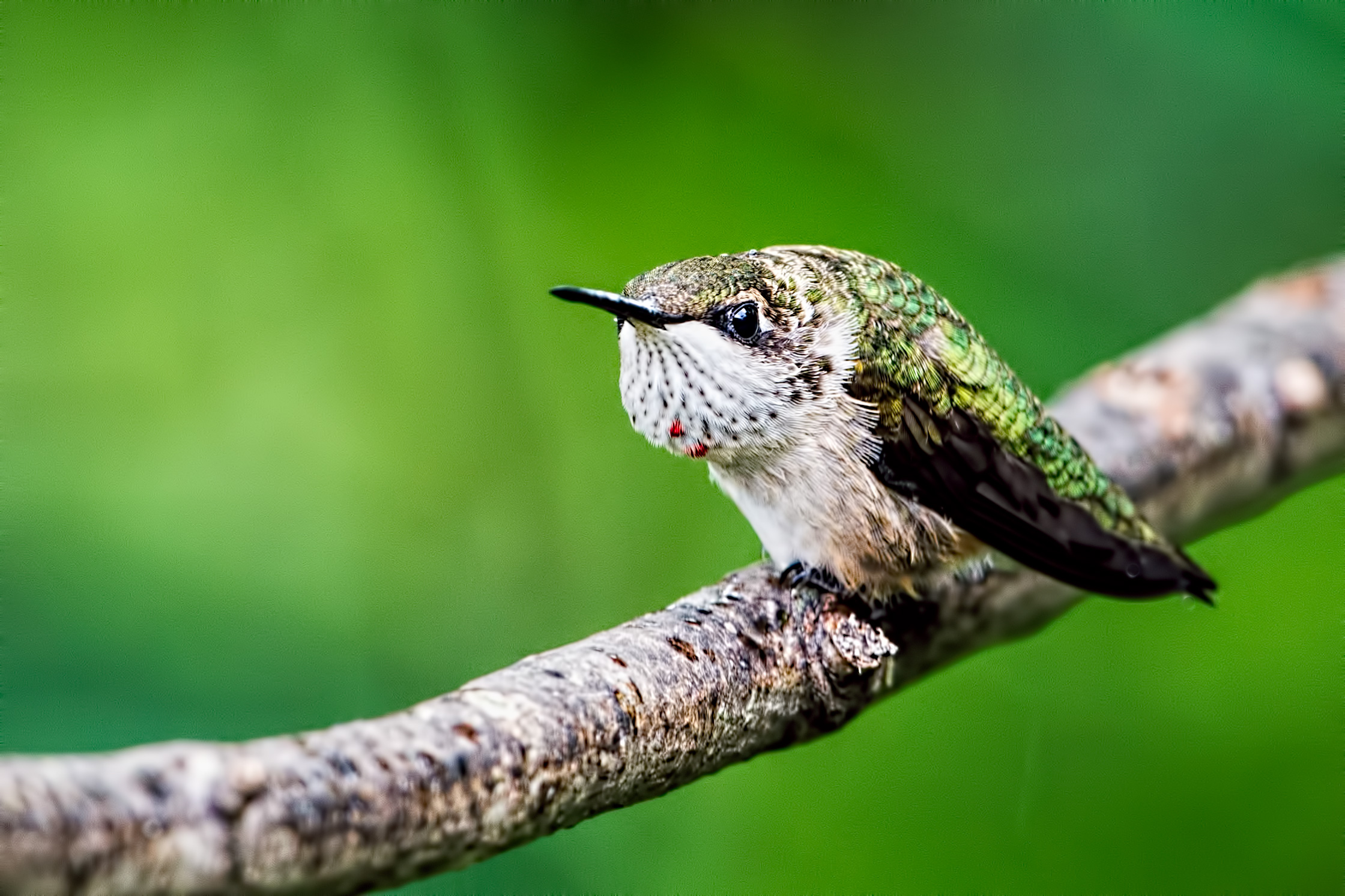 ruby throated hummingbirds essay Most ruby-throated hummingbirds winter between southern mexico and northern panama the first spring migrants arrive in the us gulf states what routes do they take.