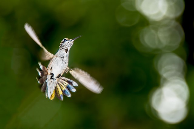 Female-Ruby-throated-Hummingbird-in-Flight-3
