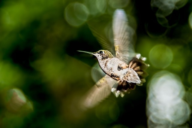 Female-Ruby-throated-Hummingbird-in-Flight-4