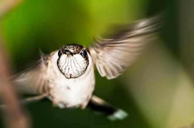 Female-Ruby-throated-Hummingbird-in-Flight