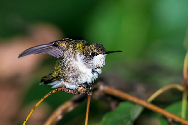 Female-Ruby-throated-Hummingbird-Stretching-2