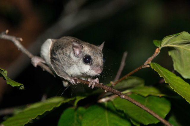 Flying Squirrel (10 of 12)