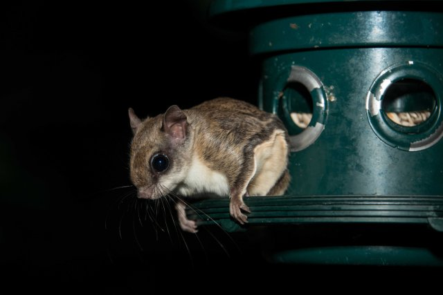 Flying Squirrel (11 of 12)