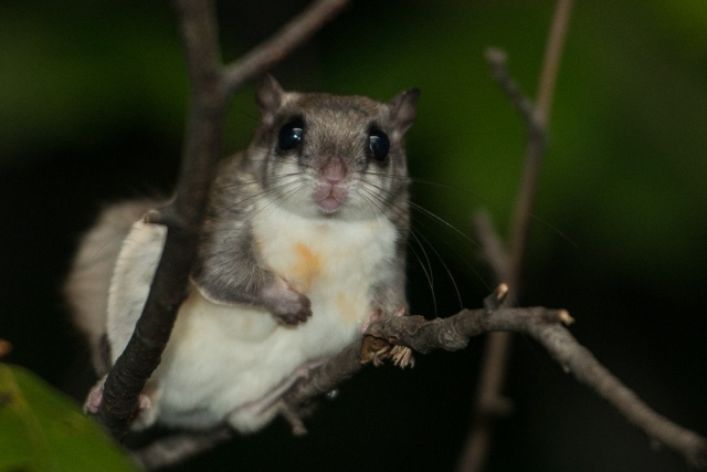 Flying Squirrel (2 of 12)