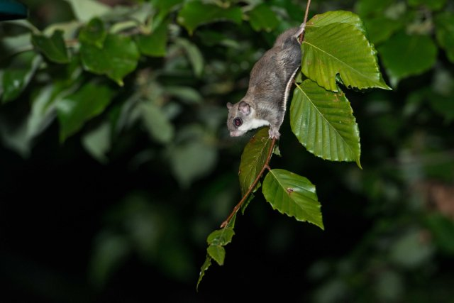 Flying Squirrel (4 of 12)