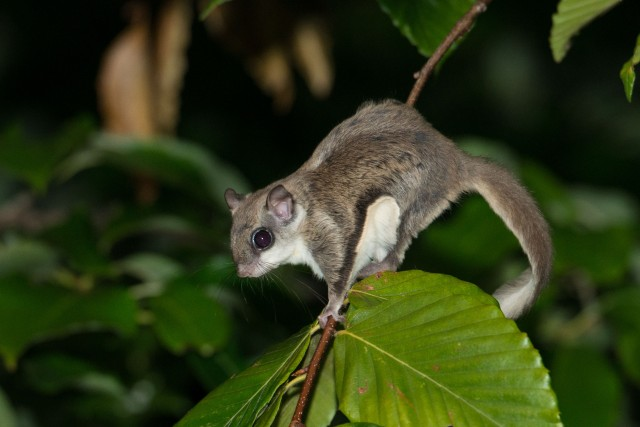 Flying Squirrel (5 of 12)