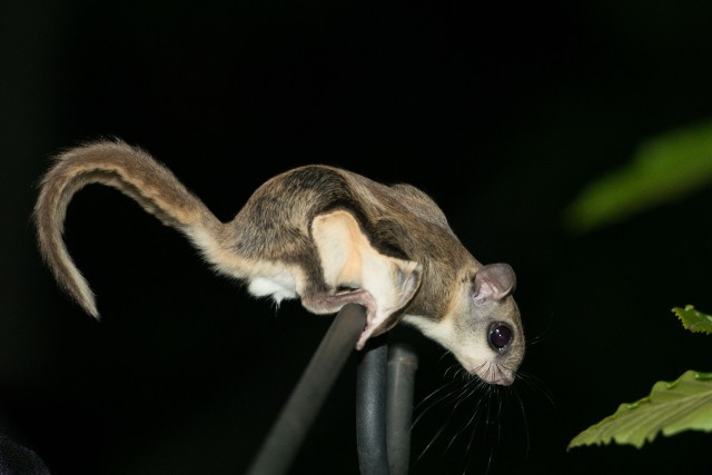 Flying Squirrel (7 of 12)
