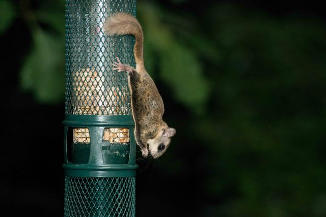 Flying Squirrel (9 of 12)