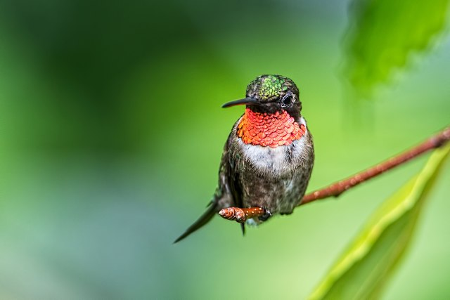 Male-Ruby-throated-Hummingbird-11