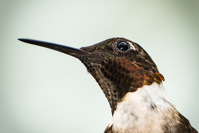 Ruby-throated-Hummingbird-Up-Close