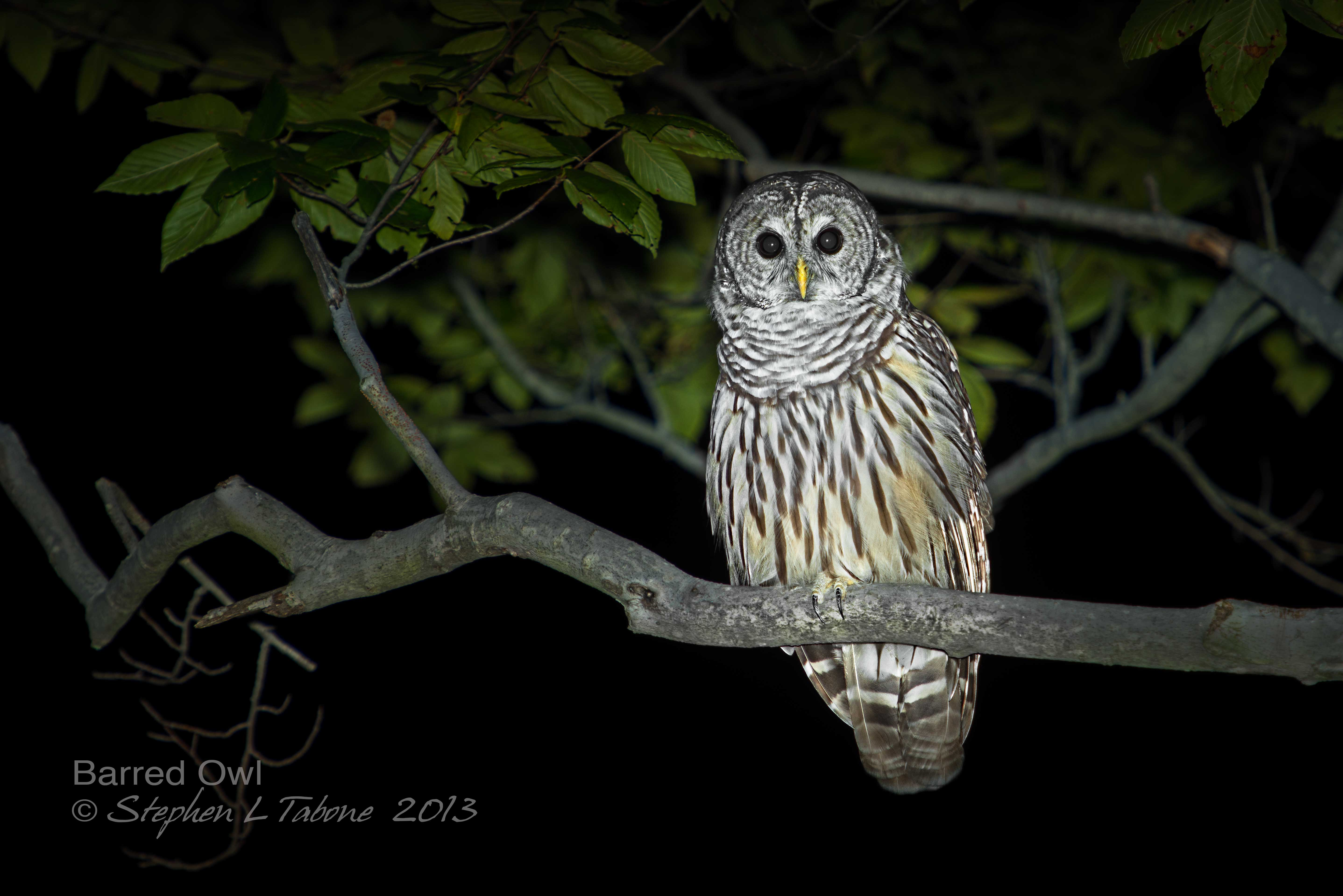 Images of Barred Owl Sounds At Night - #rock-cafe