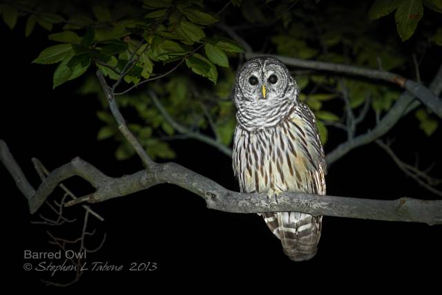 Barred-Owl-at-Night-5