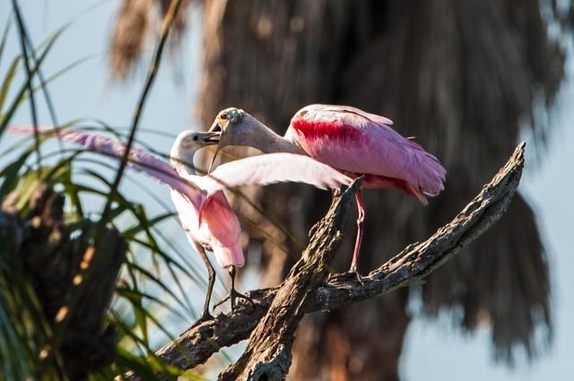 Feeding-of-Spoonbill-Chick