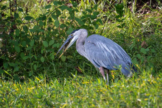 Great Blue Heron (1 of 1)-3
