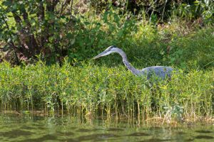 Great Blue Heron (1 of 1)