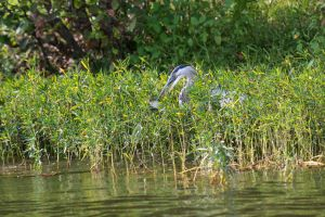 Great Blue Heron (3 of 3)