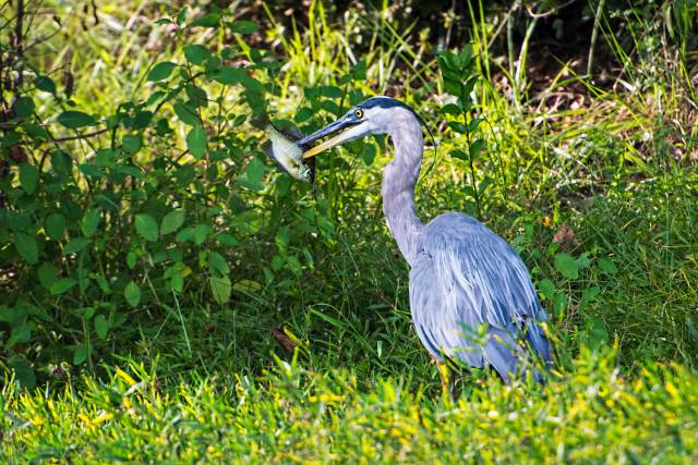 Great-Blue-Heron-with-Fish