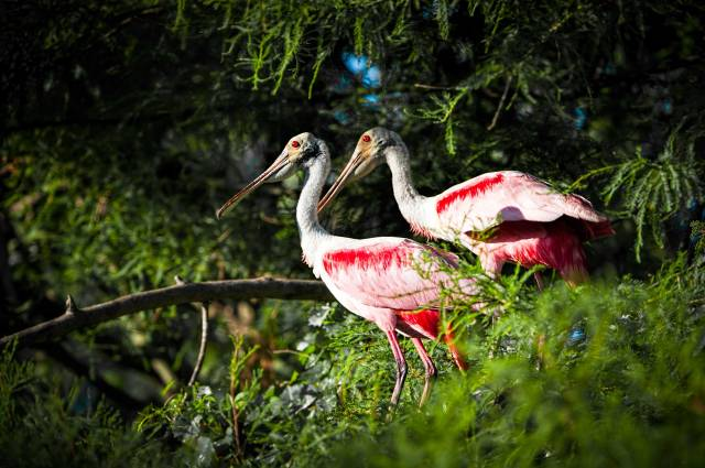Pair-of-Roseate-Spoonbills-12