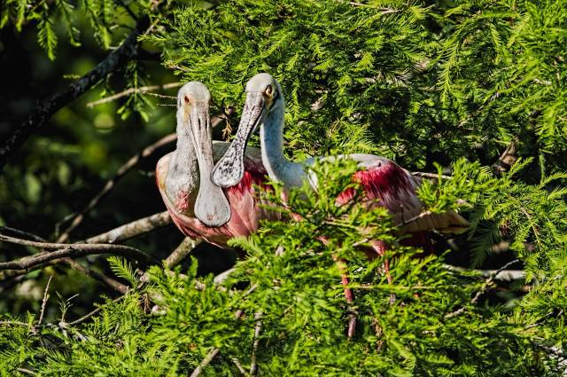 Pair-of-Roseate-Spoonbills-13
