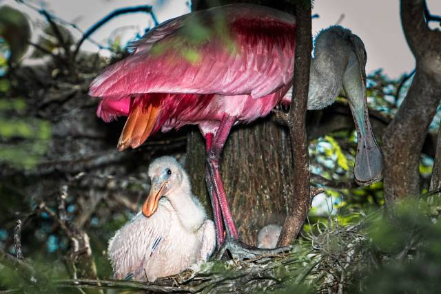 Roseate-Spoonbill-Chick-in-Nest-Deep-within-a-Tree
