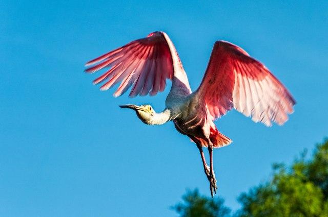 Roseate-Spoonbill-in-Flight