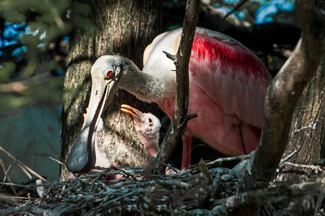 Roseate-Spoonbill-with-Chick-in-Nest